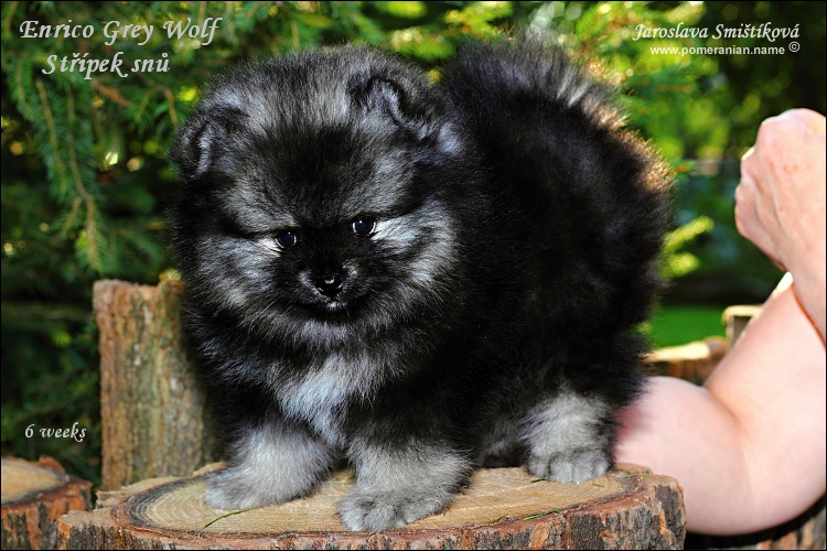 Displaying (20) Gallery Images For Black And Grey Pomeranian...
